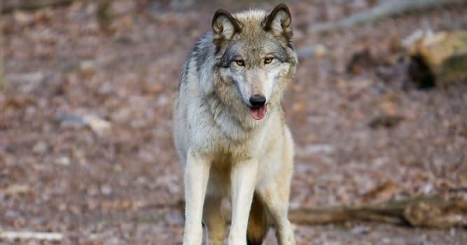 """Películas y TV Pregunta Trivia: ¿Cómo se llama el lobo de la película """"Bailando con lobos""""?"""