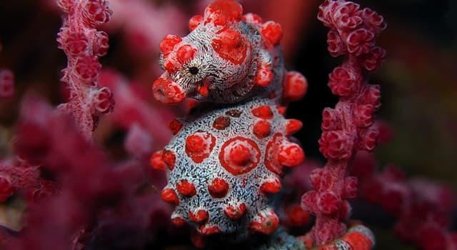 "Naturaleza Pregunta Trivia: ¿Cuánto mide el ""Caballito de mar pigmeo""?"