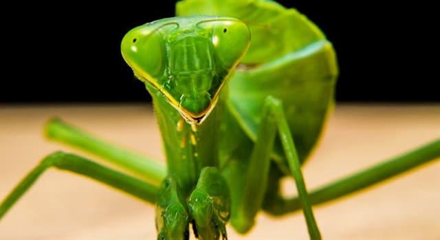"""Naturaleza Pregunta Trivia: ¿Cuántos ojos tiene la """"Mantis religiosa""""?"""