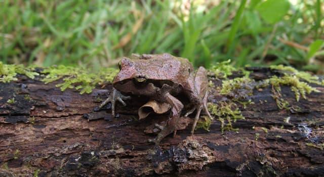 """Naturaleza Pregunta Trivia: ¿De qué país es endémica la rana de hojarasca """"Haddadus binotatus""""?"""