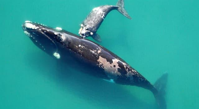 """Naturaleza Pregunta Trivia: ¿En qué industria es utilizada principalmente el """"blanco de ballena""""?"""