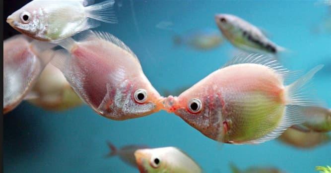 """Naturaleza Pregunta Trivia: ¿En qué países habita el pez llamado """"gurami besador""""?"""