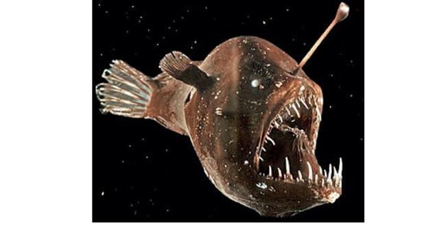 """Naturaleza Pregunta Trivia: ¿En qué zona o nivel habitan los peces llamados """"Lophiiformes""""?"""