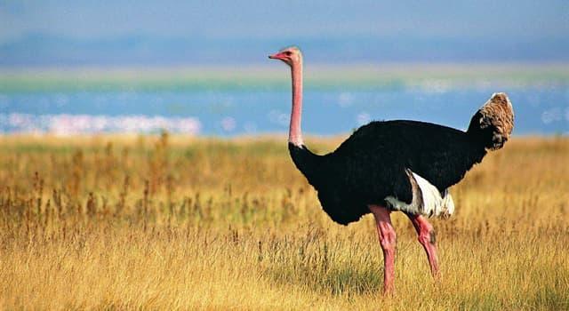 Naturaleza Pregunta Trivia: ¿Por qué el cuello y los muslos del avestruz somalí adquieren una tonalidad azulada y brillante?