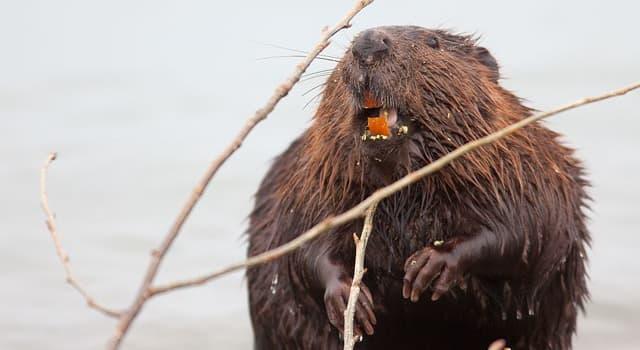 Naturaleza Pregunta Trivia: ¿Por qué los castores tienen los dientes de color naranja?