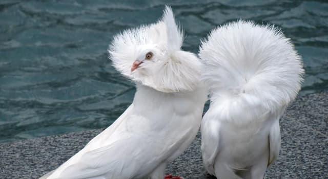 Naturaleza Pregunta Trivia: ¿Qué paloma se caracteriza por las largas plumas que le sobresalen de la cabeza en forma de capucha?