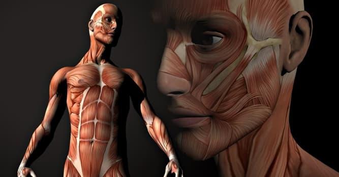Wissenschaft Wissensfrage: Welche Muskeln sind die stärksten im menschlichen Körper?