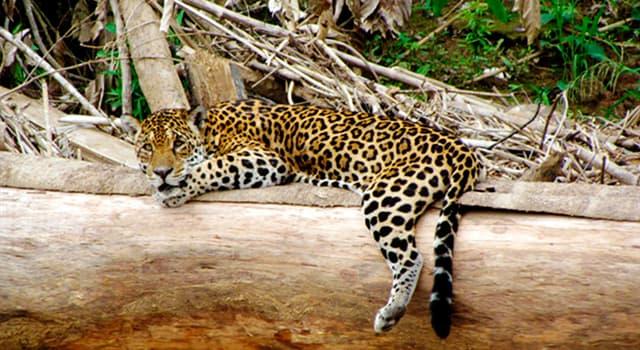 Naturaleza Pregunta Trivia: ¿Cuál es el felino más grande de América?