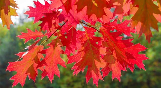 Naturaleza Pregunta Trivia: ¿De dónde es originario el árbol Quercus Rubra o Encino Rojo?
