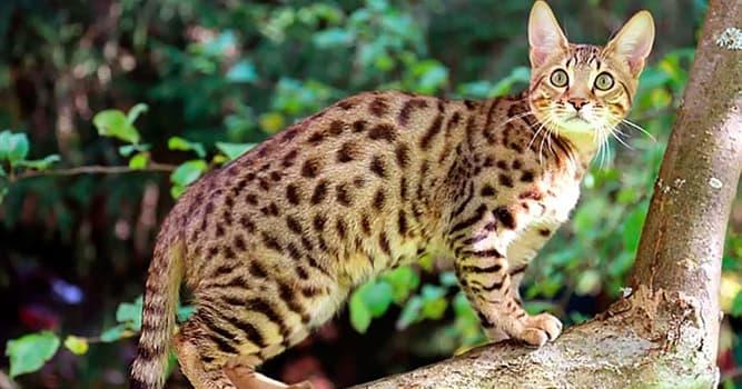 Naturaleza Pregunta Trivia: ¿Qué raza de gatos comparte su nombre con el famoso parque nacional de Tanzania?