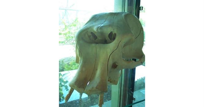 Cultura Pregunta Trivia: Según el paleontólogo Othenio Abel, ¿qué animal pudo haber dado origen a los mitos sobre los cíclopes?