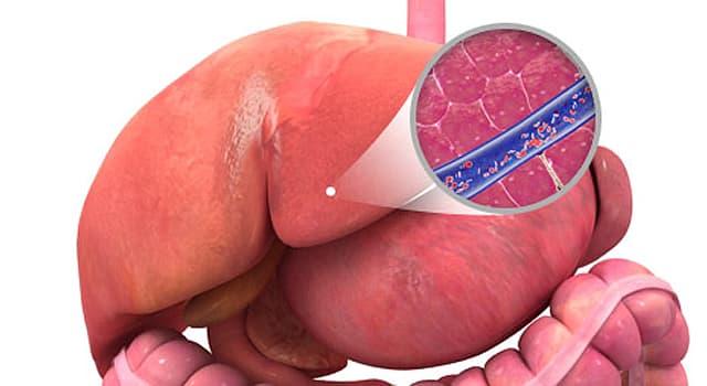 Сiencia Pregunta Trivia: ¿Cómo se llama la célula más característica del hígado?
