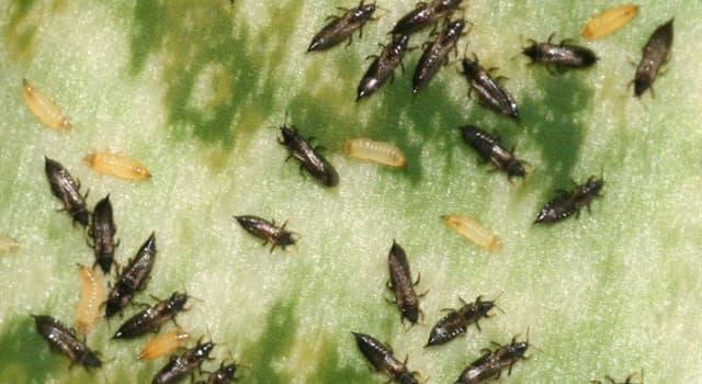 Naturaleza Pregunta Trivia: ¿Cuántas especies se conocen de los tisanópteros comúnmente llamados trips o arañuelas?