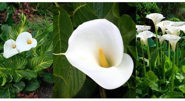 """Naturaleza Pregunta Trivia: ¿De qué país es originaria la Zantedeschia aethiopica comunmente llamada """"Cala""""?"""