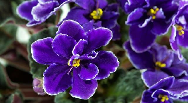 Naturaleza Pregunta Trivia: ¿De qué continentes es nativa la viola odorata?