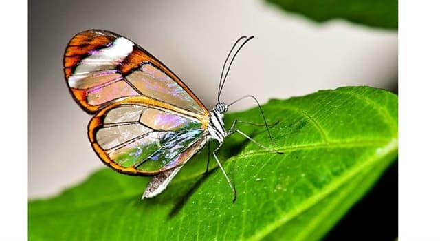 """Naturaleza Pregunta Trivia: ¿De qué continente es endémica la mariposa llamada """"Greta oto""""?"""