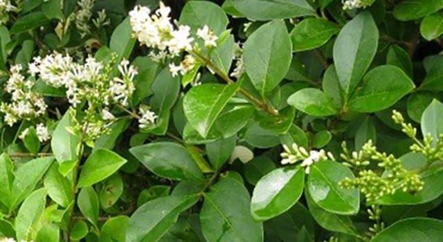 Naturaleza Pregunta Trivia: ¿De qué país es originaria la aligustrina o ligustrina (Ligustrum sinense)?