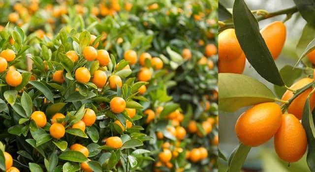 Naturaleza Pregunta Trivia: ¿De qué país es originario el naranjo enano también llamado quinoto (Fortunella)?